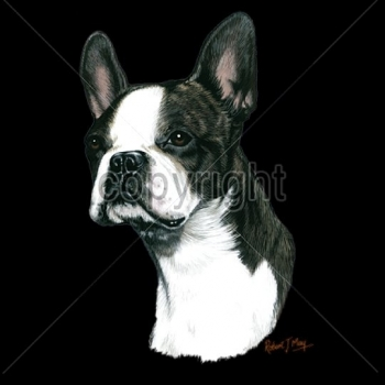 BOSTON TERRIER (13744)