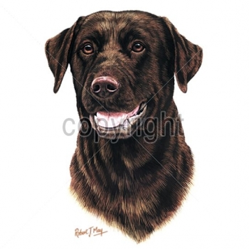 CHOCOLATE LAB (13748)